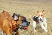 Fox terrier playing with boxer — Stock Photo
