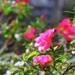 Pink rhododendron ( azalea ) - Stock Photo