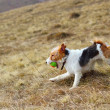 Fox terrier in the field — Stock Photo