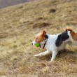 Fox terrier in the field — Stock Photo #20994585