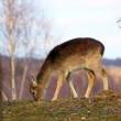 Deer calf grazing - Stock Photo