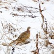 Stock Photo: Pheasant hen