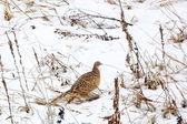 Pheasant hen — Stock Photo