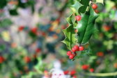 Ilex aquifolium red berries — Stock Photo