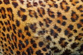 Detail of leopard fur — Stock Photo