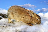 Cute rabbit in the melting spring snow — Stock Photo
