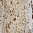 Bark of an old fir — Stock Photo