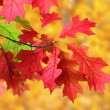 Red leaves in autumn — Stock Photo