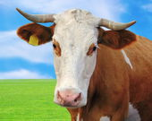 Curious cow portrait — Stock Photo