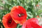 Mak z pszczoła — Zdjęcie stockowe