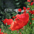 Red poppies of early summer — Stock Photo #27310627