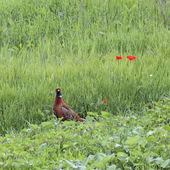 Male phasianus and poppies — Stock Photo