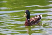 Beautiful mallard duck — Stock Photo