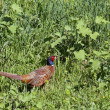 Stock Photo: Pheasant cock in summer field