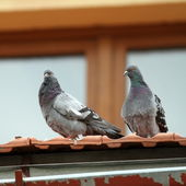 Two pigeons standing on roof — Photo