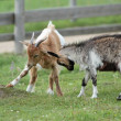 Two goats playing — Stockfoto
