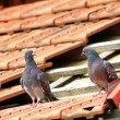 Pair of pigeons on damaged roof — Stock Photo