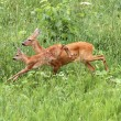 Roe deer doe and calf jumping — Photo