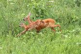 Bezerro pulando e corça doe — Fotografia Stock