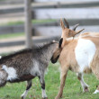Two young goats at the farm — Stockfoto