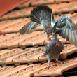 Pigeons fighting on the roof — Stok fotoğraf