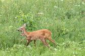 Deer family walking among the grass — Stok fotoğraf