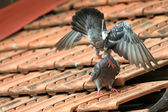Pigeons fighting on the roof — Stockfoto