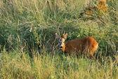 Joven salvaje roebuck — Foto de Stock