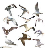 Collection of isolated gulls — Stock Photo