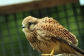 Closeup of a falco tinnunculus — Stock Photo
