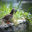 Female mallard duck on the lake shore — Stockfoto
