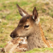 Red deer calf, cervus elaphus — Stock Photo #30910873