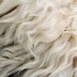 Sheep white fur — Stock Photo