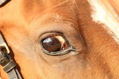 Closeup of a horse eye — Stock Photo