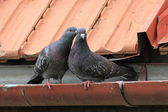 Pigeons being affective — Stock Photo