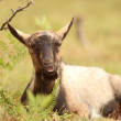 Goat relaxing in the grass — Stock Photo #31010189