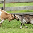 Goats fighting with their heads — Stock Photo