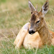 Young roebuck with small trophy — Stock Photo