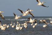 Flock of pelicans flying over water — Stock Photo