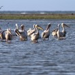 Flock of pelicans standing  in shallow water — Stock Photo