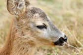 Closeup portrait of a baby roe deer — Stock Photo