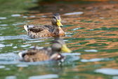 Juvenile mallard duck swimming on water — Stok fotoğraf
