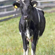 Holstein cow looking at the camera — Stock Photo