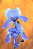 Iris germanica over autumn background — Stock Photo