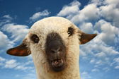 Sheep portrait at sunset — Stock Photo