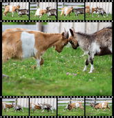 Secuencias de lucha dos carneros — Foto de Stock