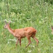 Capreolus doe and calf — Stock Photo