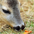 Roe deer being fed with carrots — Stockfoto