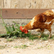Young rooster searching food — Stock Photo