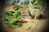 Leopard lizard — Photo